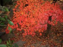 美丽的枫叶图库