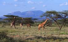 斑马与长颈鹿宽屏壁纸