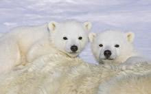 宽屏苍鹰大熊猫北极熊