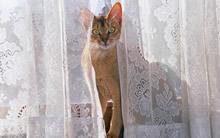 躲在窗帘后的猫咪