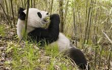 宽屏苍鹰大熊猫